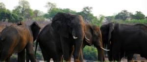 Manada de enormes elefantes en Botswana