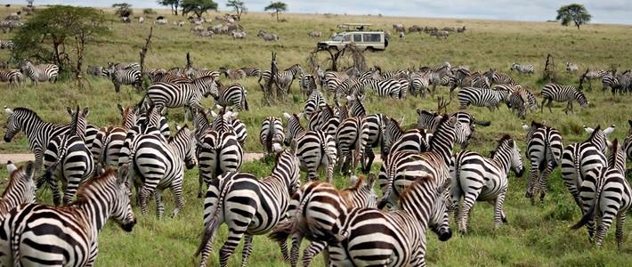 Manada de cebras en una de las reservas de África