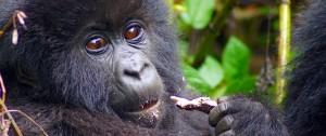 Gorila de montaña en el Parque Nacaional de los Volcanes