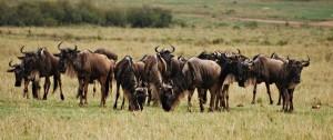 Grupo de Ñus en el serengeti Tanzania