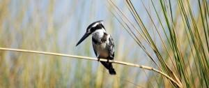 Kingfisher posado en una rama a la espera de alguna presa en el delta del Okavango Botswana.