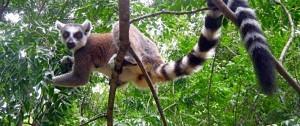 Lémur Catta o de cola anillada, natural de Madagascar