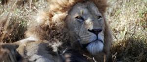 leon-descansado-en-la-sabana-africana