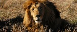 Impresionante león macho