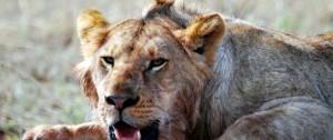 León sobre una presa de búfalo en una de las reservas de África