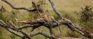leopardo descansando en un arbol en la reserva del Serengeti.