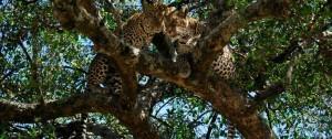 Pareja de Leopardos en una de las reservas de África.