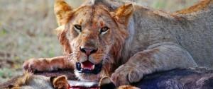 manada-de-leones-con-presa-de-bufalo-en-un-viaje-a-africa-viajes-etnias