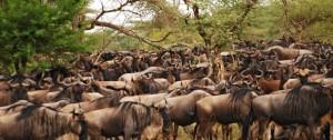 Migración de Ñus en el Masai Mara - Serengeti