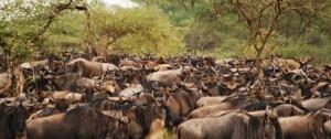 Manada de Ñus protagonizando una de las migraciones más importantes del planeta.