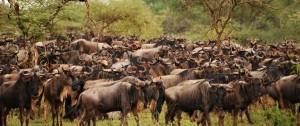 migracion-de-nus-en-el-serengeti-masai-mara-