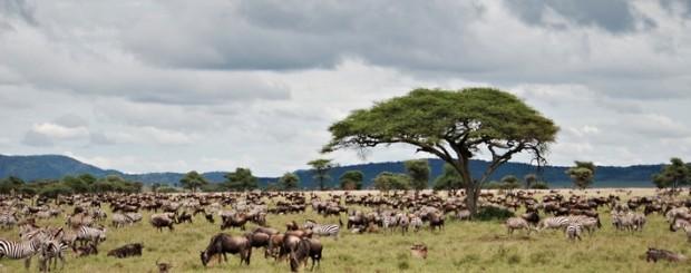 Migración de ñus y cebras vistas en el viaje Kenyan Experience
