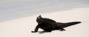Iguana marina en una de las playas de las islas Galápagos