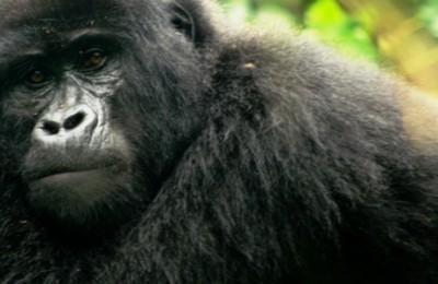 Gorilas de Ruanda y Kenia