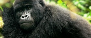 viajes-a-africa-gorila-de-montana2