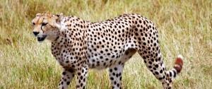 viajes-a-kenia-guepardo