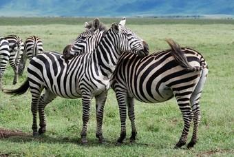 cebras-en-el-area-del-crater-del-ngorongoro-en-tanzania