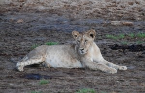 cria-de-leon-en-el-parque-nacional-de-tarangire-en-tanzania