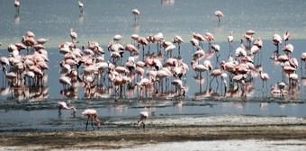 flamencos-en-el-parque-nacional-de-lago-nakuru