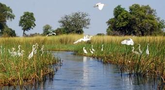 garzas--delta-del-okavango