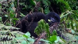 gorila-de-montana--viajes-a-ruanda