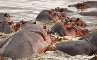 hipopotamos--viajes-a-kenia