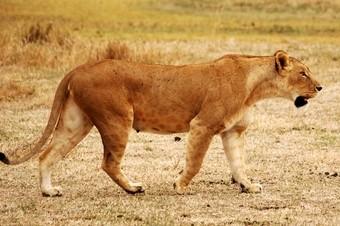 leona-caminando--viajes-a-africa