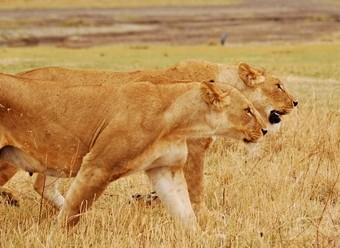 leones--viajes-a-africa