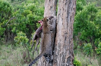 leopardo-subiendo-al-arbol--viajes-a-africa