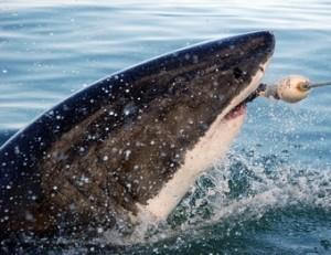 tiburon-blanco---viajes-a-africa