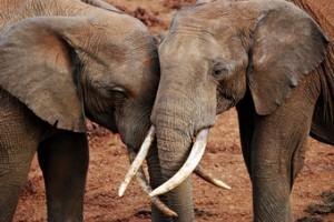 viaje-kenia--elefantes