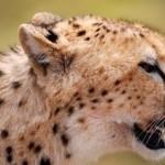 Fotografía de guepardo