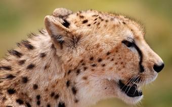viajes-a-africa-guepardo
