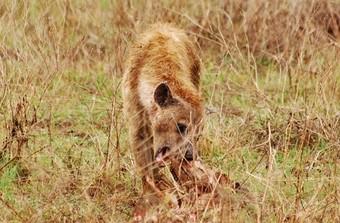 viajes-a-africa-hiena-comiendo
