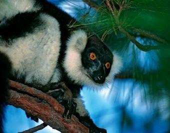 viajes-a-madagascar-parque-nacional-de-andasibe---lemur-indri-indri