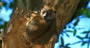 viajes-a-madagascar--parque-nacional-montana-de-ambre-lemur-microcebe