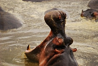 viajes-tanzania-hipopotamo