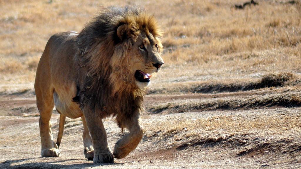 Safari fotografico africa: León