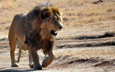 Safari fotográfico africa: León