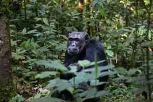 chimpanzee-898756_960_720