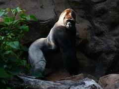 Macho adulto de gorila de montaña
