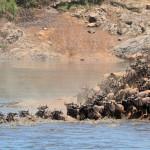 Migración de Ñus en Kenia.