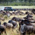 Migración de Ñus en un Safari en África.
