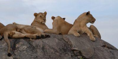Leones en un safari por Tanzania